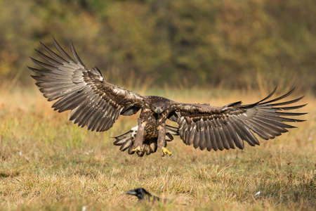 White-tailed eagle landing on the ground from front view Фото со стока