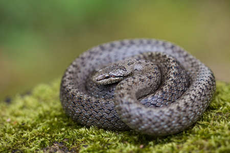Textured dice snake basking on green ground with blurred background Фото со стока