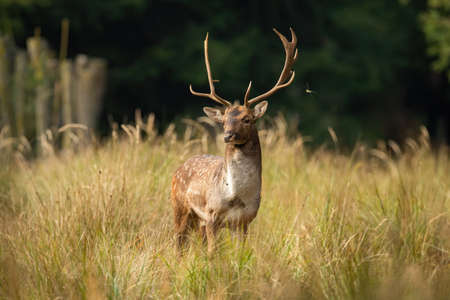 Fallow deer buck observing on meadow in springtime nature