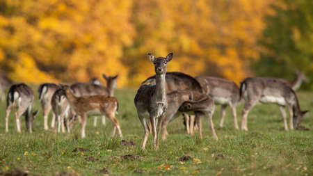 Group of fallow deer standing on field in autumn nature