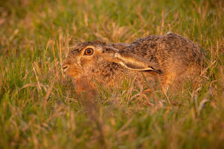 Brown hare hiding in grass in summer evening light Фото со стока