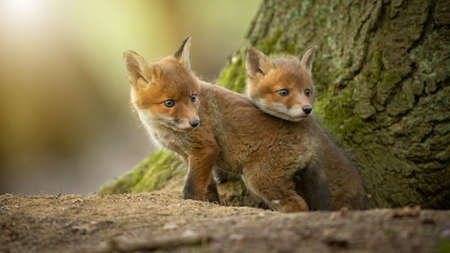 Two little red fox cubs cuddling next to tree in sunlight Фото со стока