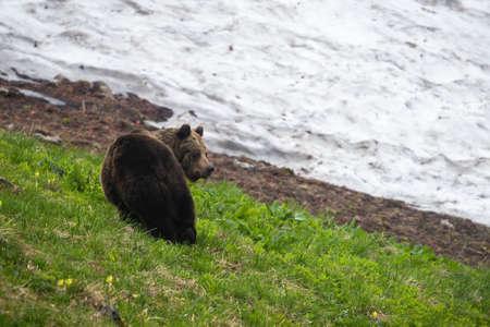 Brown bear observing on grassland in springtime nature