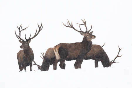 Group of red deer standing on snow isolated on white background Фото со стока