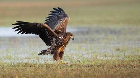 Juvenile white-tailed eagle landing on floodplain with frost