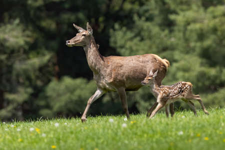 Family of red deer moving on meadow in springtime.