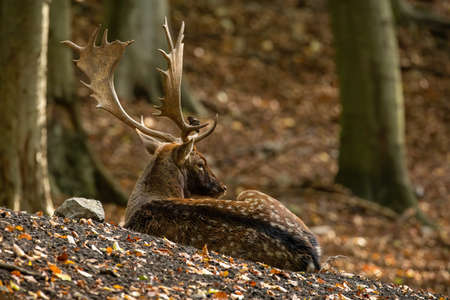Fallow deer lying on ground in forest in autumn nature