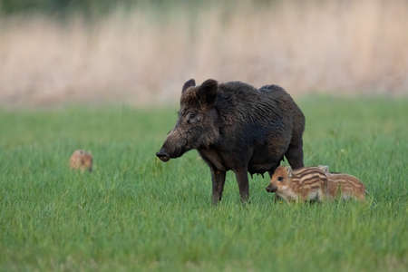 Family of wild boar standing on meadow in springtime