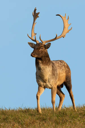 Fallow deer standing on grass with blue sky in vertical shot Фото со стока
