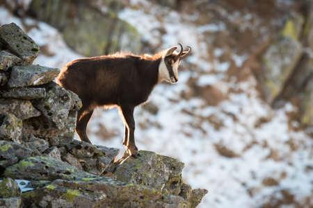 Tatra chamois climbing on stones in wintertime nature