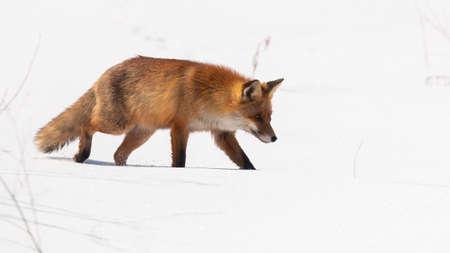 Bushy red fox walking on snow in wintertime nature