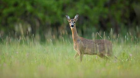 Roe deer female standing on field in summer nature