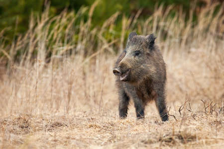 Wild boar observing on field in springtime nature.