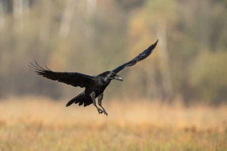 Common raven landing on dry field in autumn nature