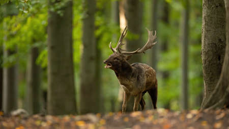 Fallow deer roaring in woodland in rutting season.