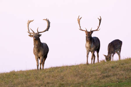 Three fallow deer approaching on horizont in autumn