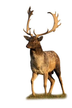 Majestic fallow deer standing on field cut out on blank