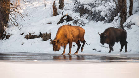 Two european bison crossing river in winter nature