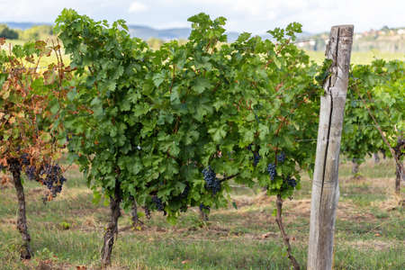 Wine orchard ready for harvesting in winery area in summer