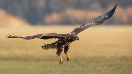 Juvenile white-tailed eagle in flight over the pasture Фото со стока