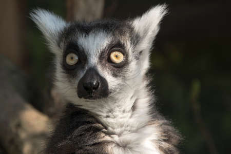 lemur in closeup shot