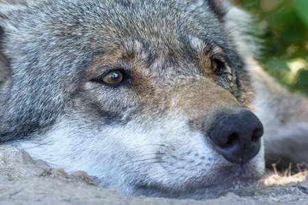 wolf in closeup shot Stok Fotoğraf