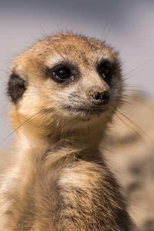 Watching meerkat Stok Fotoğraf