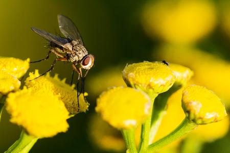 Fly on yellow flower Stok Fotoğraf