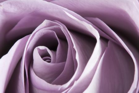 Macro detail of gorgeous purple rose, wedding flower Stok Fotoğraf