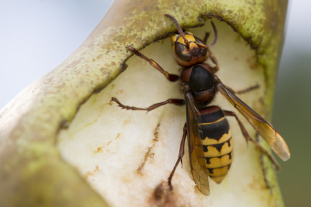 Close-up detail of hornet Eating Pear in summer garden