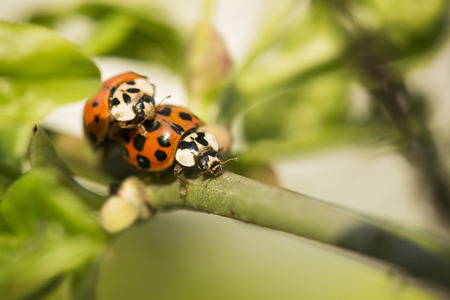 Macro detail of two ladybirds on twig