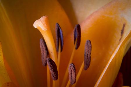 Macro detail of orange lily, wedding flower Stok Fotoğraf