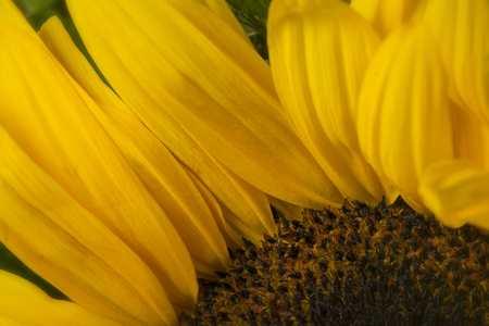 Macro detail of sunflower, in summer garden