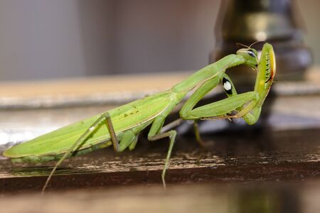Close-up of green mantidae staying on brown wood Stok Fotoğraf