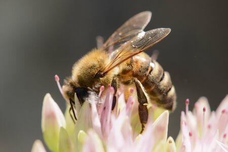 Detail of honey Bee on flower in garden