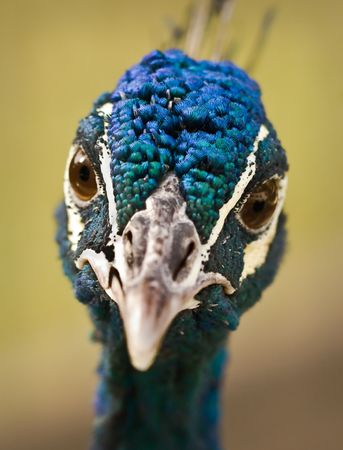 One of the most beautiful birds at the local Zoo (Blue Peafowl). photo