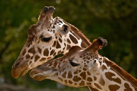 Romantic couple Giraffes.