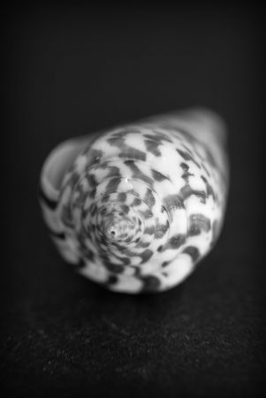 Conch snail on black and white Stock Photo - 3737787