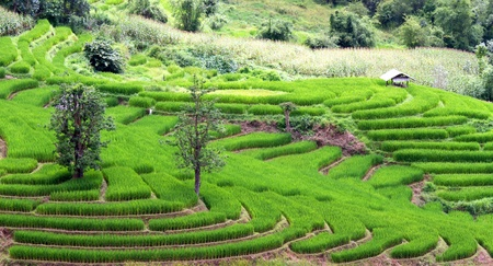 Rice field terraces, Chiang Mai Province, Thailand. Stock Photo - 10777178