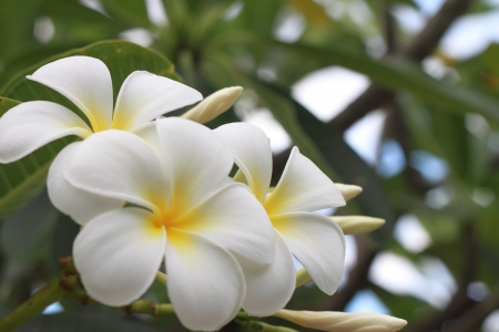 Beautiful white flower in thailand, Lan thom flower  Stock Photo - 14425622