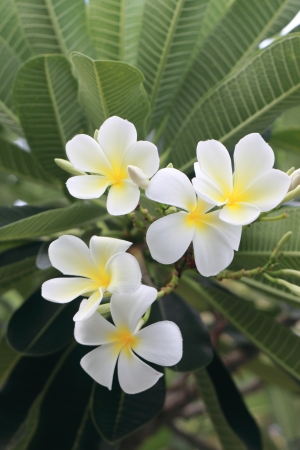 Beautiful white flower in thailand, Lan thom flower Stock Photo - 14425617