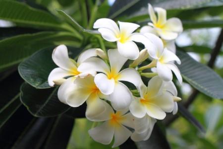 Beautiful white flower in thailand, Lan thom flower  photo