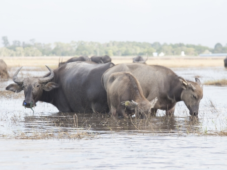 Buffalo thai  photo