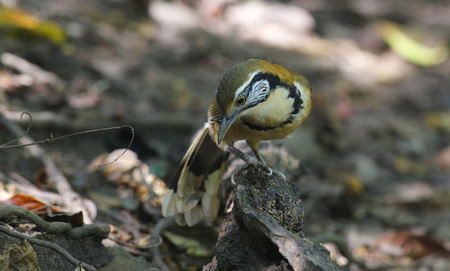 laughingthrush: Beautiful of Laughingthrush Bird, Greater-necklaced Laughingthrush in nature of Thailand