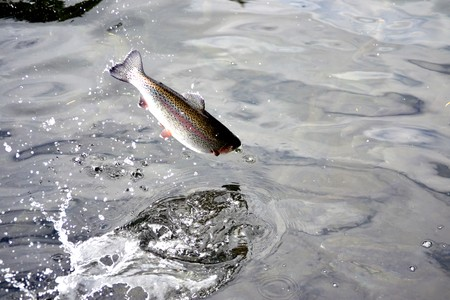school of fish: Jumping Trout