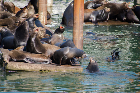 Agressive Sealions on a Dock 2