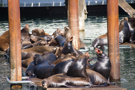 Agressive Sealions on a Dock