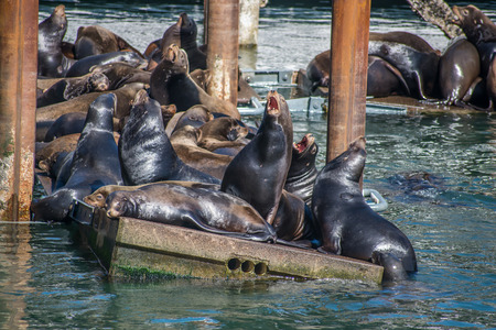 aggresive: Sealion Dock Overflowing Stock Photo