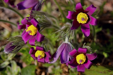 Pasque flowers in early spring