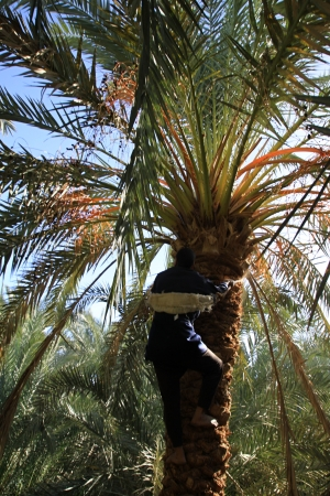 Date picker on the tree in Egypt oasis